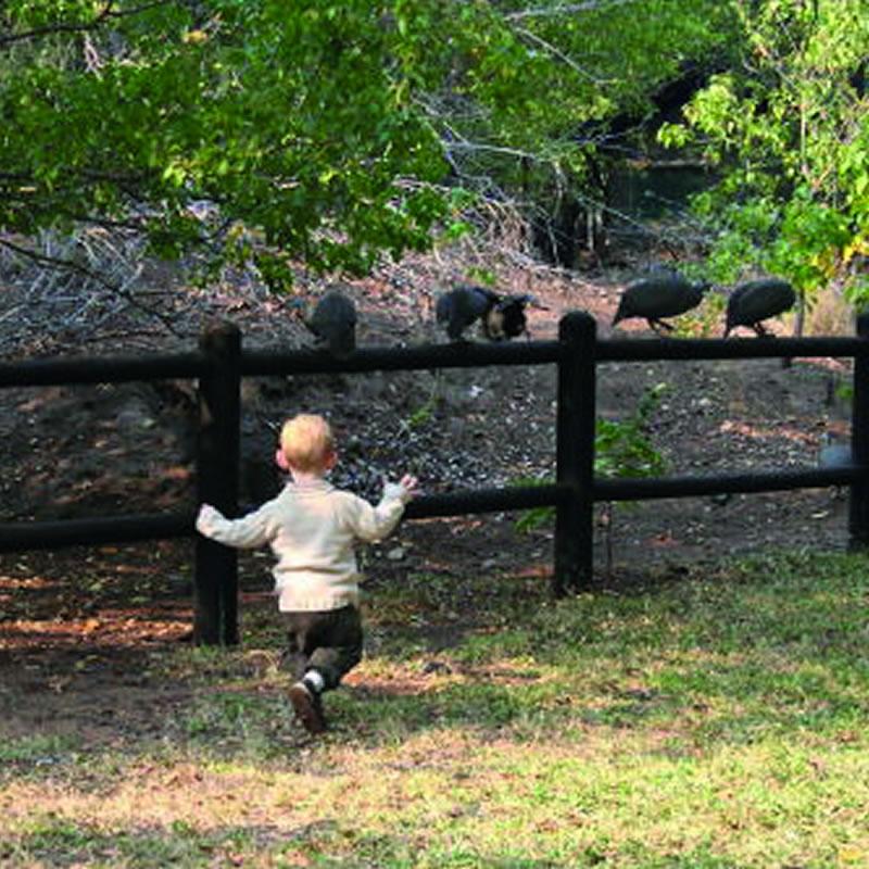 chasing_guinea_fowl